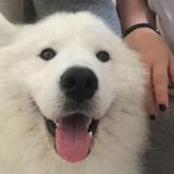 Coco (Samoyedo)