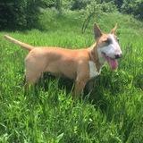 Anis (Bull Terrier)