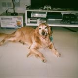 Sammy (Golden Retriever)