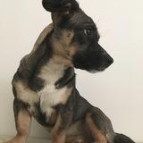 Effie (Jack Russell Terrier)
