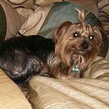 Chispa (Yorkshire Terrier)