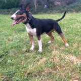 Luisa  (Bull Terrier)