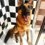 Jaeger (German Shepherd Dog)