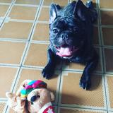 Brownie (Bulldog Francés)