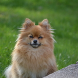 Princess  (Pomeranian)