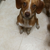 Lola (Podenco Portugués pequeño)