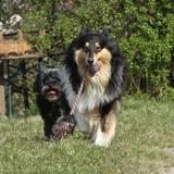 Jeany (Tibet Terrier)