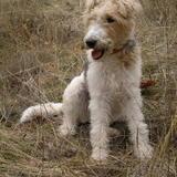 Danko (Fox Terrier)