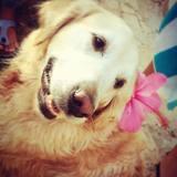 Nora - Golden Retriever