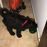 Pepo Aransay  (Terrier Tibetano)
