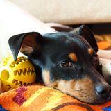 Kali (Fox Terrier De Pelo Liso)