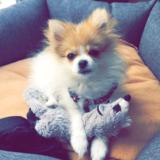 Molly (Spitz Nain)