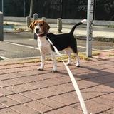 Alana  - Beagle