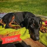 Django (Dobermann)