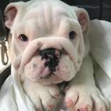 Rio - English Bulldog