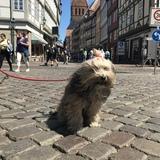 Kira (Tibet Terrier)