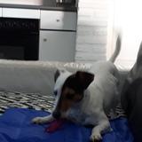 Sombra gris - Jack Russell Terrier