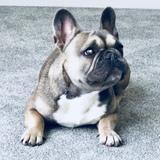 Luna  (French Bulldog)