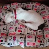 Tia (Staffordshire Bull Terrier)