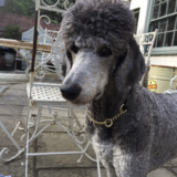 Eric  (Poodle)