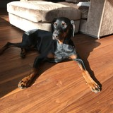 Buddy (Dobermann)