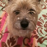 Murphy  (Cairn Terrier)