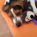 Obi (Beagle Harrier)