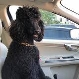 Georgie  (Poodle)