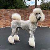 Flo (Poodle)