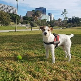 Cafe (Parson Russell Terrier)