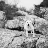 Titán  (Staffordshire Bull Terrier)