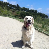 CAI - Golden Retriever