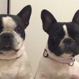 Lola - Bulldog Francés
