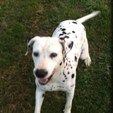 Arielle (Dalmatian)