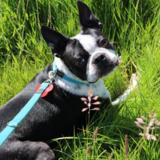 Max - Boston Terrier