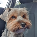 Daisy (Yorkshire Terrier)