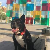 Mofo (Bulldog Francés)
