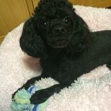 Jerry (Poodle Miniature)
