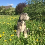 Lucky (Bearded Collie)