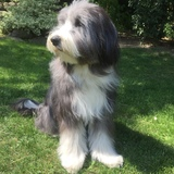 Mia (Bearded Collie)