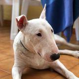 Yuki (Bull Terrier)