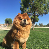 Maggie (Chow Chow)