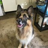 Toby (German Shepherd Dog)