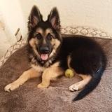 Alfie (German Shepherd Dog)