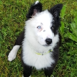 Ortzi - Border Collie