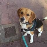 Kuma - Beagle