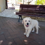 Gordo (Golden Retriever)