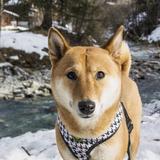 Kitsune (Shiba Inu)
