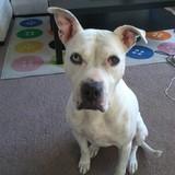 Fiona (Dogue Argentin)