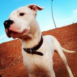 Blade (Dogo Argentino)